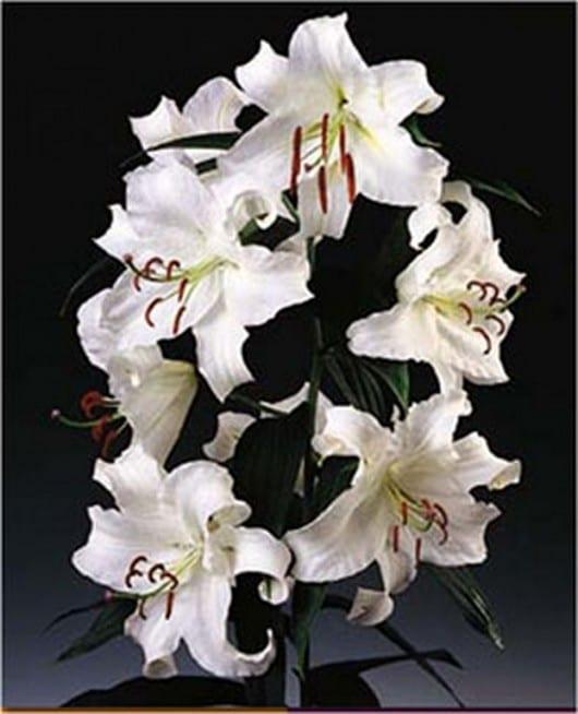 oriental-white-casa_blanca