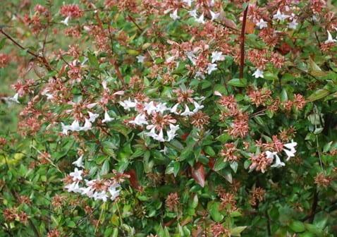 Abelia con flores grandes