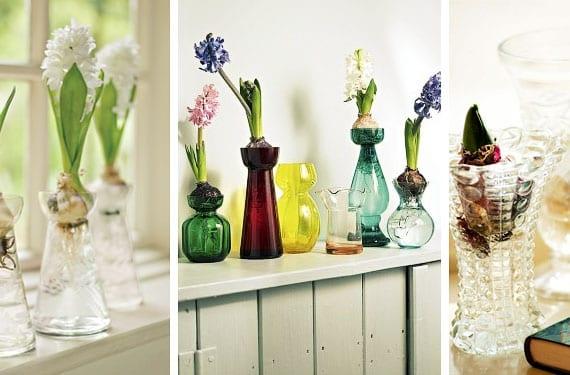 Bulbos de jacinto en jarron