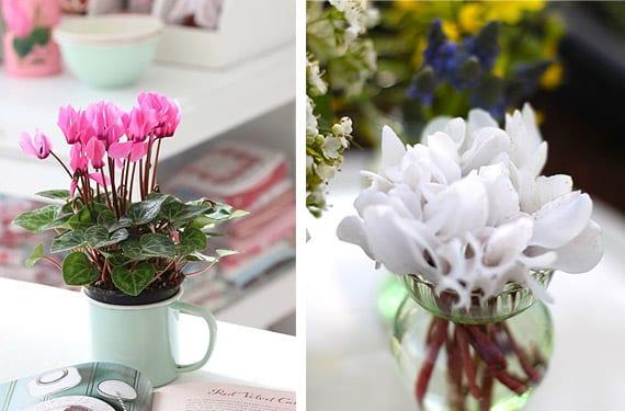 Ciclamen, plantas de invierno