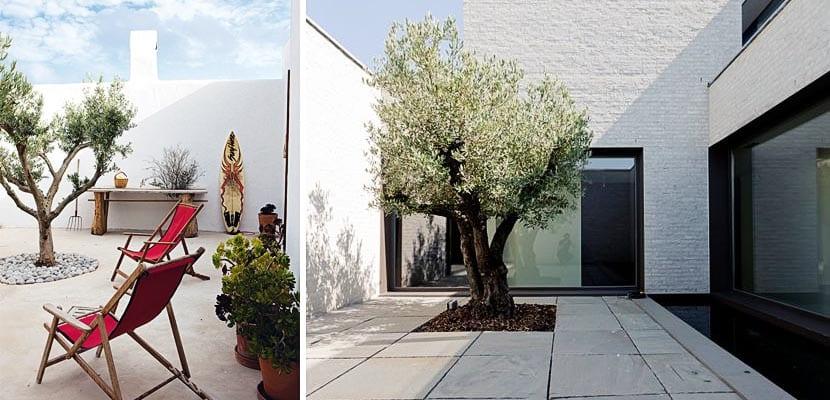 Olivo jardin