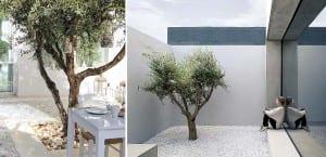 Olivo jardín
