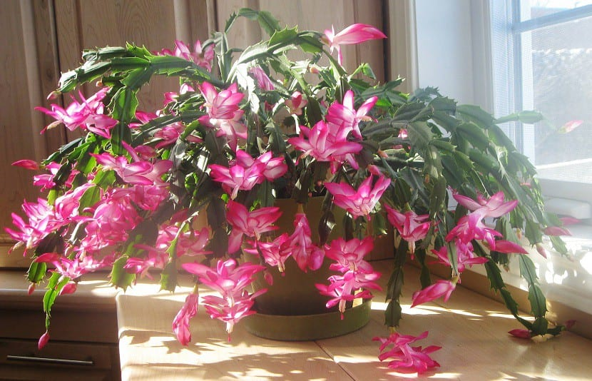 Cactus-de-Navidad