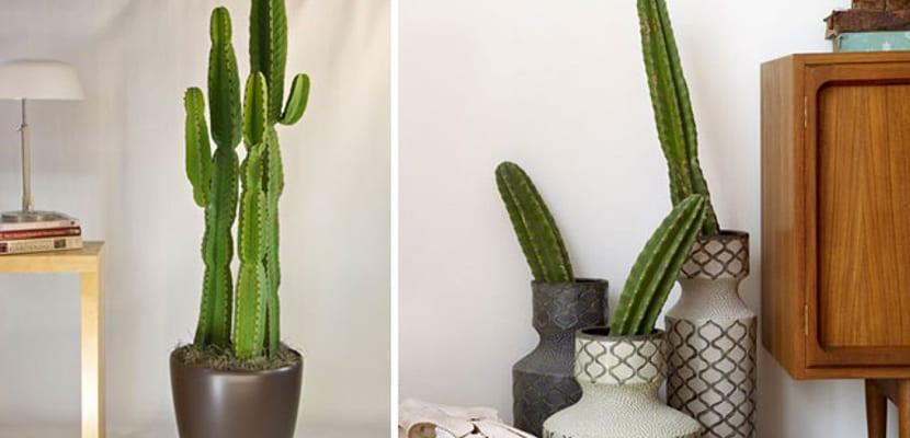 Cactus grandes para el hogar