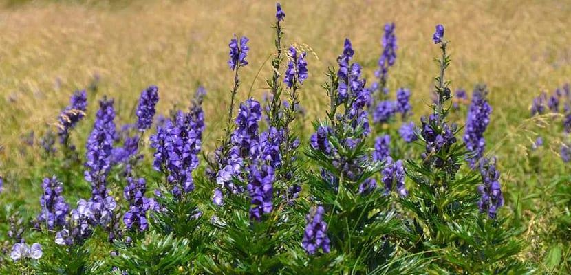 Plantas perennes para el frío aconitos