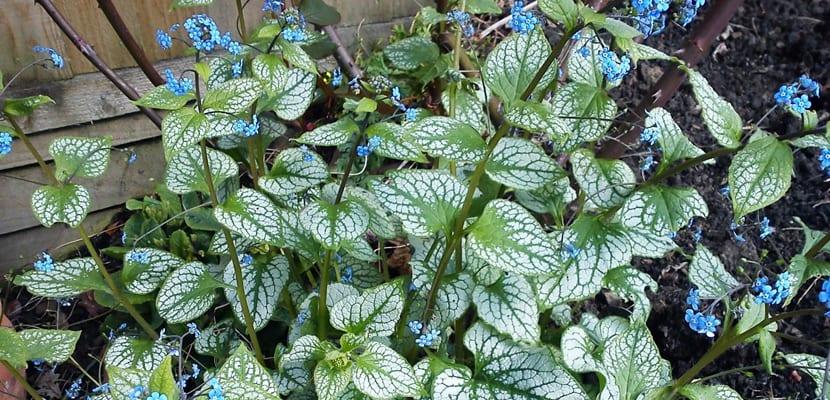 Plantas perennes para el frío brunera