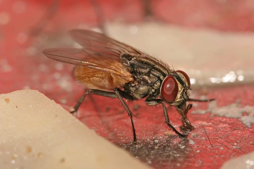 mosca chupando
