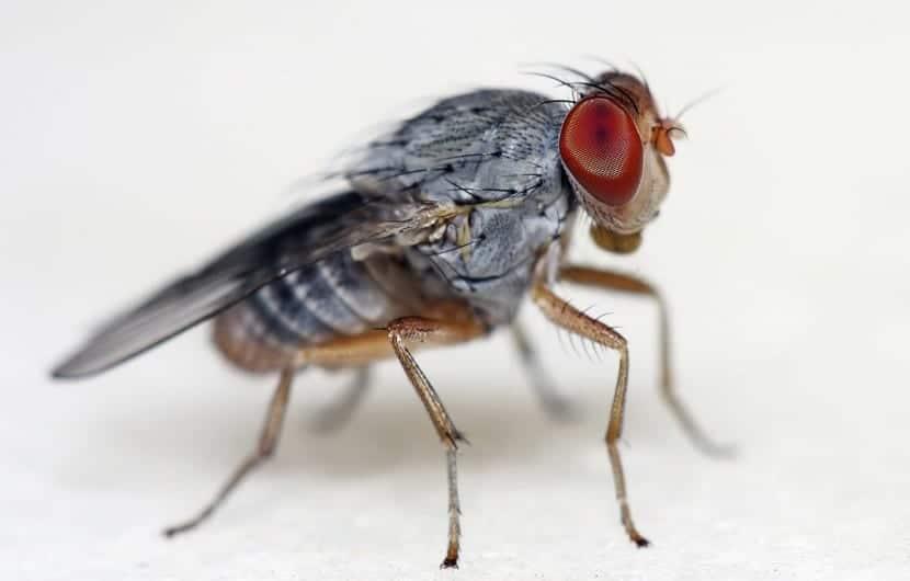 mosca esbelta