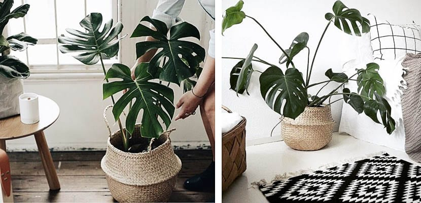 Monstera deliciosa o Costilla de Adán