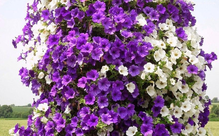 petunia-morada-y-blanca