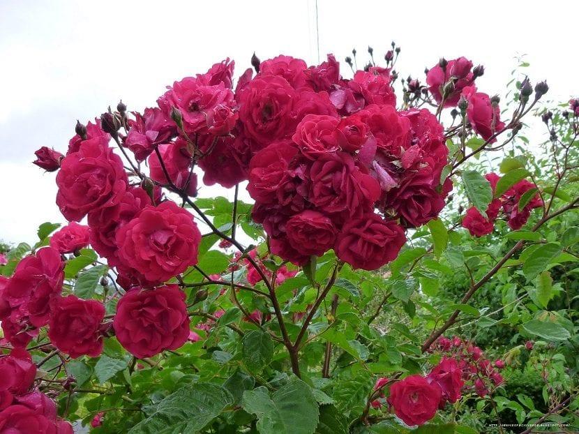 rosapolyantha