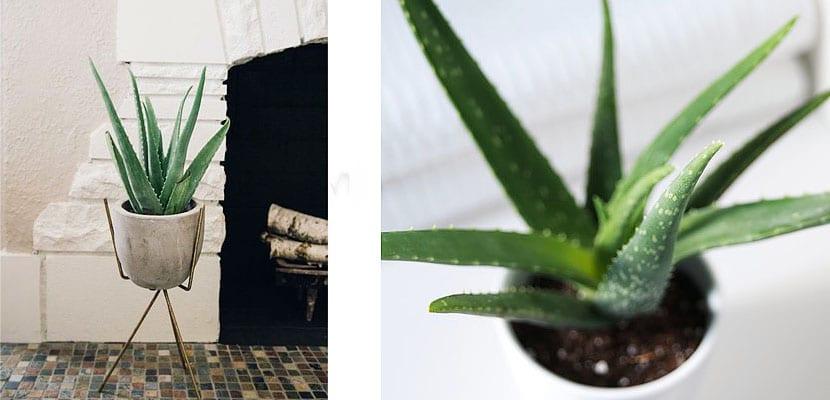Plantas d einterior: Aloe Vera