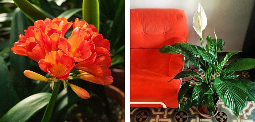 Clivia y Espatifilo
