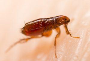 eliminar pulgas del hogar