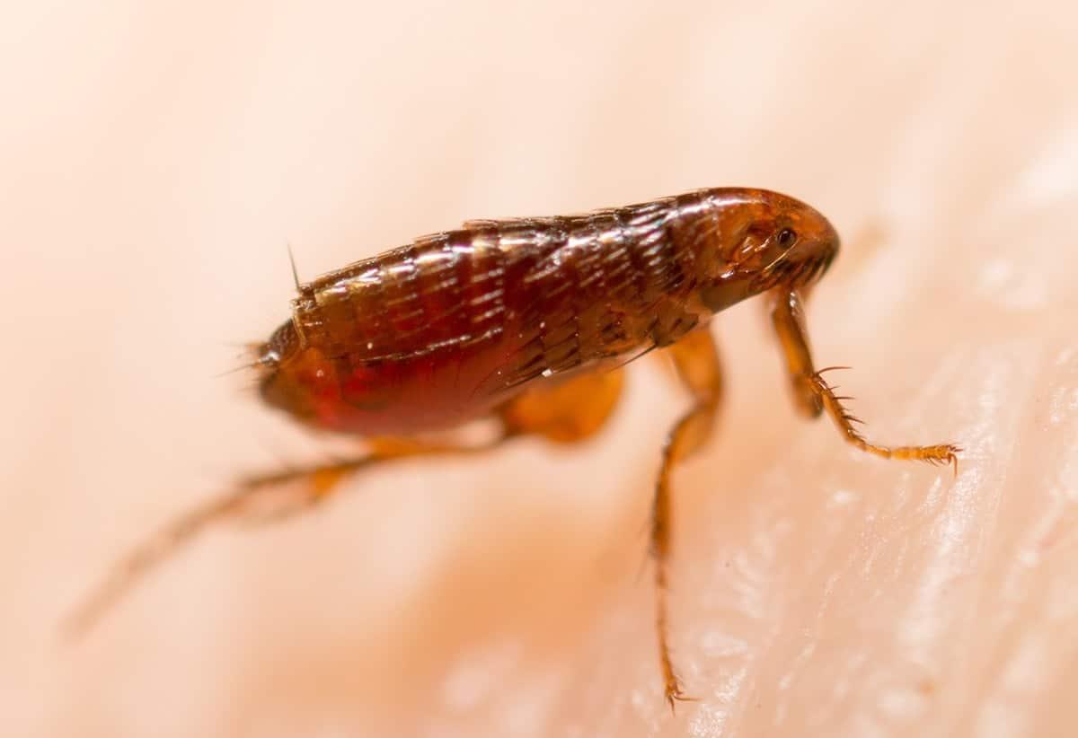 Pasos para eliminar las pulgas en el hogar
