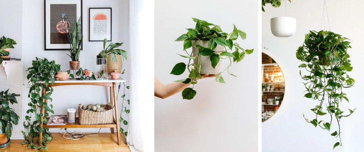 Plantas colgantes: Epipremnum aureum