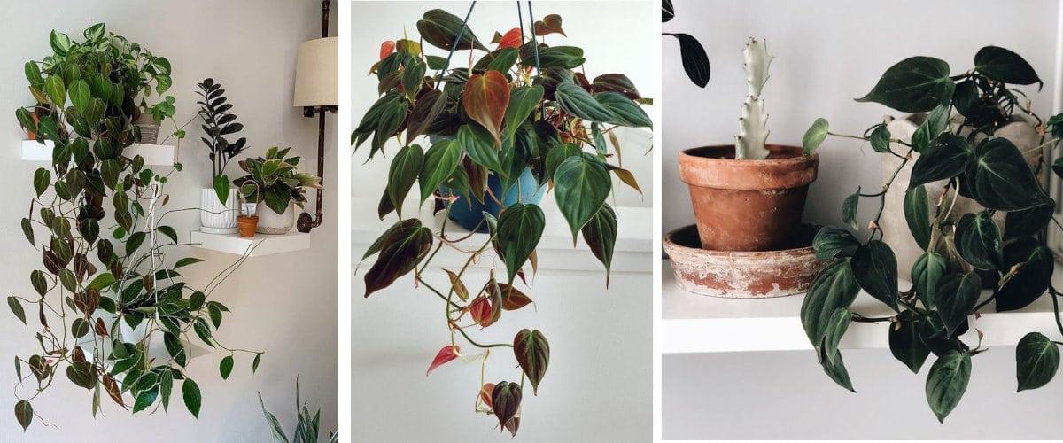 Planta colgante: Philodendron Micans