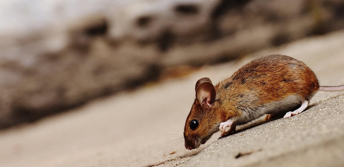 Marcas de roedores