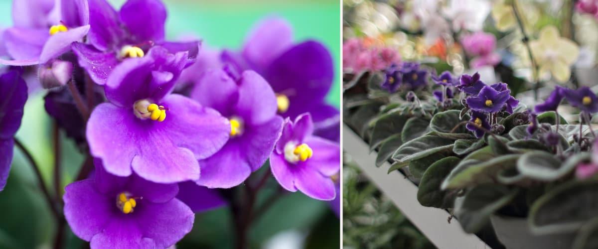 Plantas con flores: Saintpaulia o violeta africana